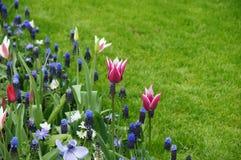 Тюльпаны в зеленой траве Стоковое фото RF