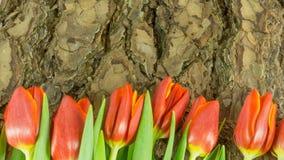 Тюльпаны в красном цвете на предпосылке Стоковое Изображение