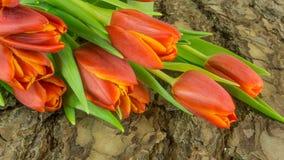 Тюльпаны в красном цвете на предпосылке Стоковые Фото