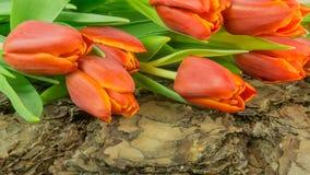 Тюльпаны в красном цвете на предпосылке Стоковое Фото