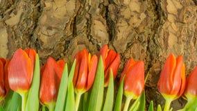 Тюльпаны в красном цвете на предпосылке Стоковые Изображения