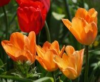 Тюльпаны в оранжевом и красной Стоковое Фото