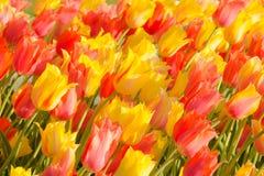 Тюльпаны в парке Вашингтона Стоковое Изображение RF