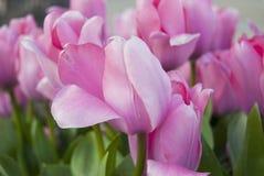 Тюльпаны в парке города Стоковая Фотография