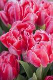 Тюльпаны в парке города Стоковые Фотографии RF