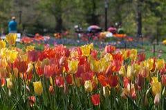 Тюльпаны в парке Стоковое Изображение RF