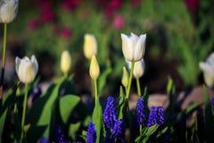 Тюльпаны в парке Стоковое Изображение