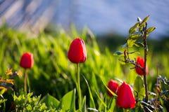 Тюльпаны в парке Стоковые Изображения