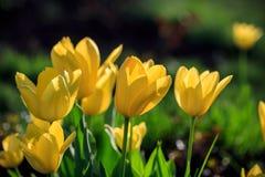 Тюльпаны в парке Стоковое Фото