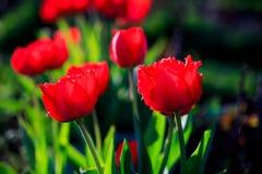 Тюльпаны в парке Стоковые Фотографии RF