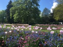 Тюльпаны в парке Стоковые Изображения RF