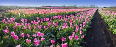 Тюльпаны в прикарпатской зоне Стоковая Фотография