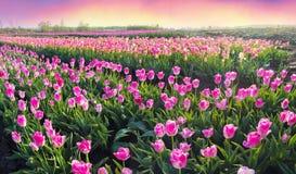 Тюльпаны в прикарпатской зоне Стоковые Фотографии RF