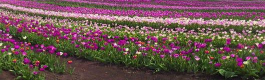Тюльпаны в прикарпатской зоне Стоковое Изображение