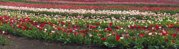 Тюльпаны в прикарпатской зоне Стоковое Фото