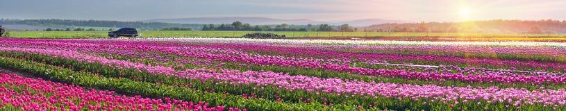 Тюльпаны в прикарпатской зоне Стоковое фото RF