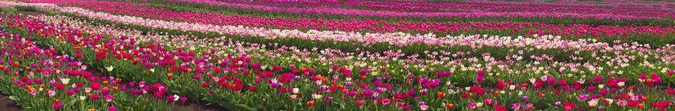 Тюльпаны в прикарпатской зоне Стоковая Фотография RF