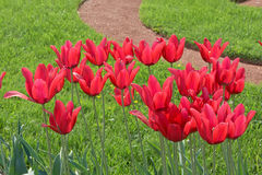 Тюльпаны в природе Стоковое Изображение