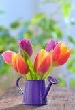 Тюльпаны в саде спринклера стоковые изображения