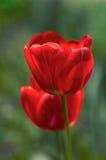 Тюльпаны в саде стоковое изображение