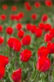 Тюльпаны в саде Стоковые Изображения RF