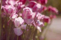 Тюльпаны в саде Стоковая Фотография RF