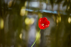 Тюльпаны в саде Стоковые Фото