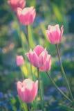 Тюльпаны в саде Стоковое Изображение RF