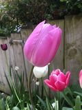 Тюльпаны в саде Стоковое Фото