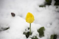 Тюльпаны в снеге Стоковое фото RF