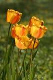Тюльпаны, в луге, под солнцем Стоковая Фотография