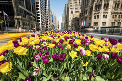 Тюльпаны в цветени на бульваре Мичигана в Чикаго Стоковая Фотография