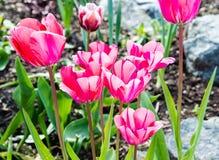 Тюльпаны в цветени Стоковые Фото