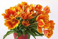 Тюльпаны в цветочном горшке на белой предпосылке Стоковое Фото