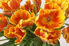 Тюльпаны в цветочном горшке на белой предпосылке Стоковая Фотография RF