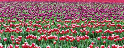 Тюльпаны в штате Вашингтоне Mount Vernon Стоковое фото RF