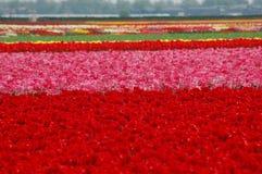 Тюльпаны в Keukenhof Стоковые Изображения