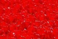Тюльпаны в Keukenhof Стоковые Изображения RF