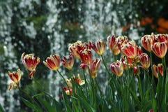 Тюльпаны в Keukenhof Стоковое Изображение