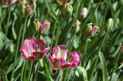 Тюльпаны в Keukenhof Стоковое фото RF