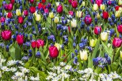 Тюльпаны в Keukenhof Стоковая Фотография