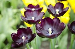 тюльпаны Голландии Стоковое Изображение RF
