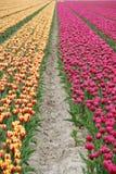 Тюльпаны Голландии Стоковое Изображение