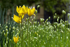 Тюльпаны леса желтые, цветник, бутоны цветка Стоковая Фотография RF