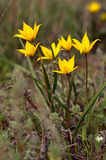 Тюльпаны желтого поля Стоковые Фотографии RF