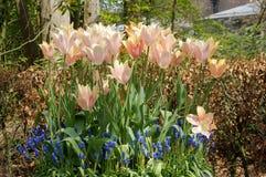 Тюльпаны и виноградные гиацинты Стоковая Фотография