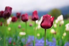 Тюльпаны и красочные цветки весны Стоковые Изображения