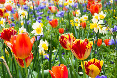 Тюльпаны и другие цветки Стоковое Изображение