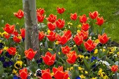 Тюльпаны и pansies стоковые изображения