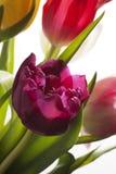 Тюльпаны конца-вверх других цветов Стоковое Фото